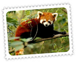 Red Panda, Himalayan Zoological Park