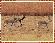 Black Buck National Park Gujarat