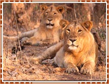 Gir Wildlife Sanctuary Gujarat