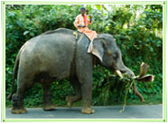 Elephant Rider on Elephant, Kerala