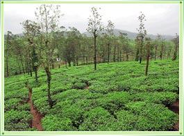 Vandiperiyar Tea Estate Thekkady