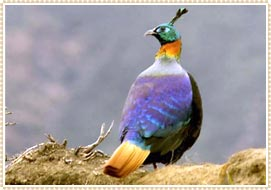 National Bird of Nepal