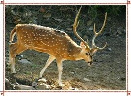 Deer at Sariska National Park Alwar, Rajasthan