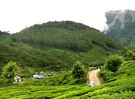 Darjeeling Tea Plants